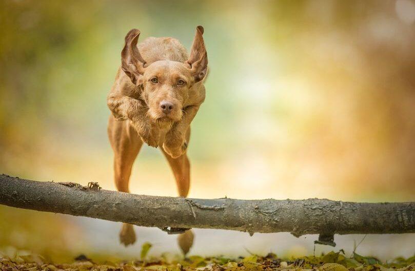 cane da caccia ungherese